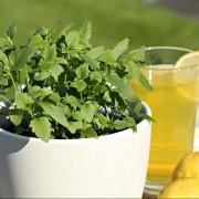 Limonadenpflanze_s-1280x853
